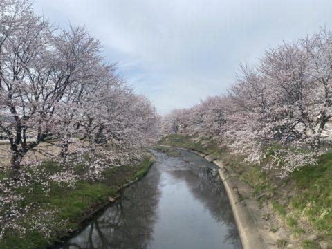 桜🌸越前市